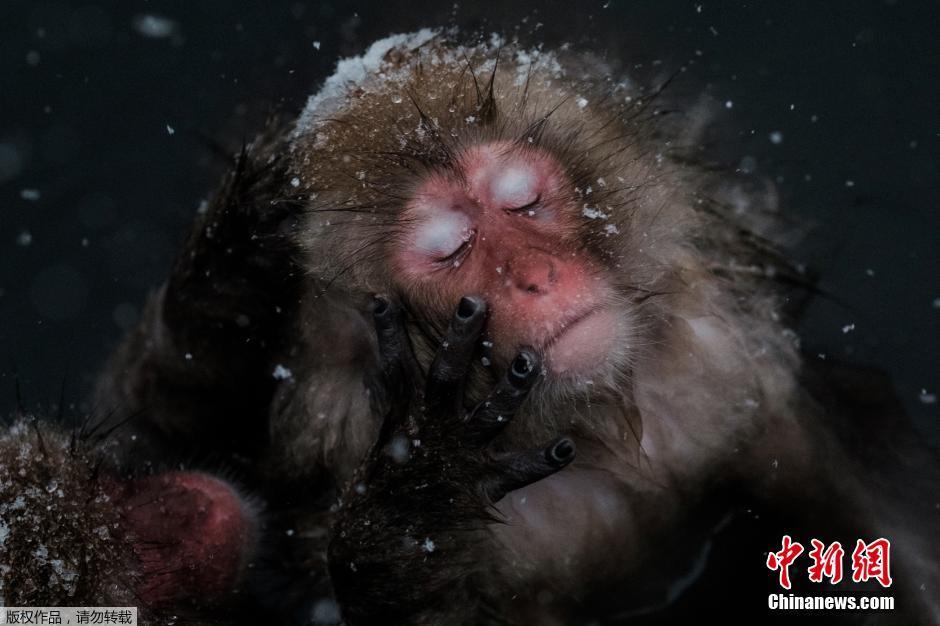 日本雪猴泡温泉 表情销魂萌翻游客