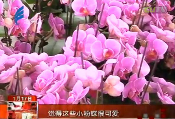 """美丽蝴蝶兰 """"起舞""""迎新春 2017-01-17"""