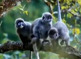云南德宏发现全国罕见极大种群菲氏叶猴