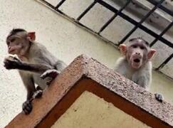 印度阿格拉猴子成灾袭击人类 近一周来已致2人死