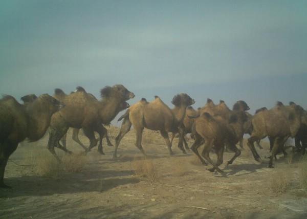 红外相机在甘肃敦煌拍摄到48峰规模的野骆驼种群