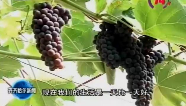 齐齐哈尔市农业生产蓬勃发展