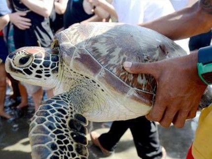 想知道海水溫度變化?日本團隊找來了5只海龜……