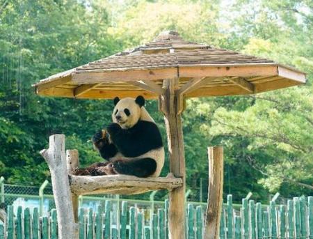 翻滚吧,国宝!——大熊猫高纬度成长记